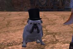 Sr.-Pug-WesleyHP-2